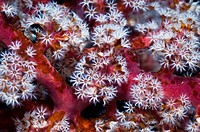 Pink soft coral Siphonogorgia godeffroyi with polyps clustered on the end of the branches  Acoel flatworms Waminoa sp on the branches and polyps  Indo...