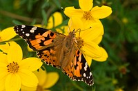 Painted lady on yellow flowers