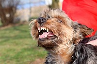 Yorkshire Terrier baring his teeth