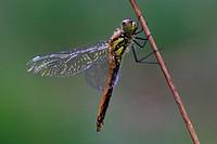 Eurasian Red Dragonfly, North Rhine_Westphalia, Germany / Sympetrum depressiusculum