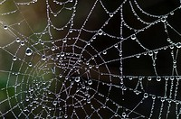 dew drops of water on spider web