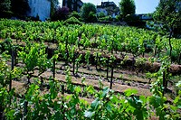 Clos Montmartre is the last vineyard in Paris, France