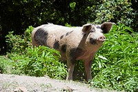Free_range Domestic Pig, Corsica, France / nosering