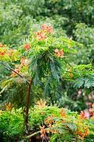 delonix regiaflame trees