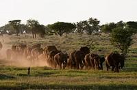 Elephants Loxodonta africana, Lualenyi Game Reserve, Kenya, East Africa, Africa