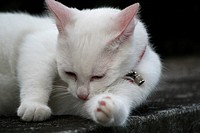 White kitten cleaning