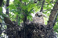 A Great Horned Owl sits in a nest in Colorado and looks at the camera.