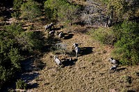 Aerial view of an elephant herd walking across a grassy clearing.
