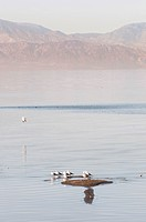 Sea gulls stand side_by_side in shallow water of the Salton Sea in CA.