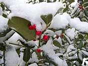 Brightly colored holly berries pop against the white snow.