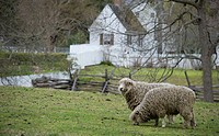 Sheep graze on grass at a colonial WIlliamsburg farm.
