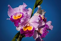 Cattleya Orchid Hybrid With Pacific Ocean