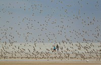 Knot Calidris canutus flock, in flight over beach, with people in background, Norfolk, England, august