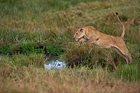 Lioness leaping