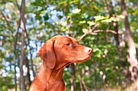 Hungarian Vizsla Dog in the Woods