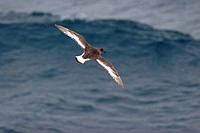 Antarctic Petrel Thalassoica antarctica adult, in flight over sea, off Antarctic Peninsula, Antarctica, december