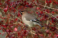 Bohemian Waxwing Bombycilla garrulus adult, feeding on Barberry Berberis sp fruit, Scotland, october