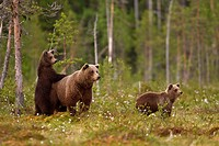 European Brown Bear Ursus arctos arctos adult female with two cubs, standing in taiga forest, Finland, june