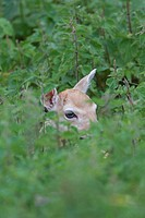 Fallow Deer Dama dama fawn, hiding in nettles, Helmingham Hall Deer Park, Suffolk, England, june