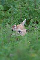 Fallow Deer Dama dama fawn, hiding in nettles, Helmingham Hall Deer Park, Suffolk, England, june