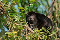 Black Howler Monkey Alouatta caraya adult male, feeding in tree, Jaguar Ecological Reserve, Mato Grosso, Brazil, september