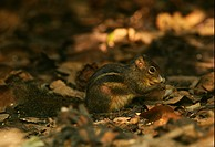 Indochinese Ground Squirrel Menetes berdmorei adult, feeding on forest floor, Kaeng Krachan N P , Thailand, november