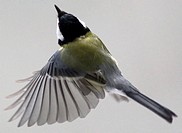 flying tit_15