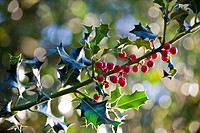 Red berries on a holly bush