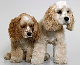 Two American Cocker Spaniel dogs looking sad