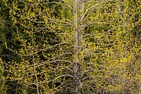 Balsam Polpar (Populus balsamifera) tree leafing out, Banff NP, Alberta, Canada