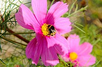 Stock photo of a bee feeding on pink cosmos flowers