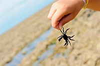 Stock photo of a boys hand holding a black crab