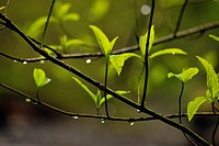 Raindrops on spring twigs in the Oneonta Gorge, Columbia Gorge Nat Scenic Area, Orgeon, USA