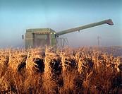Large combine harvesting feed corn