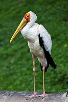 A Yellow-Billed Stork  Mycteria ibis