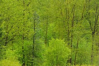 Poplar trees with spring foliage, near Paulson, BC, Canada