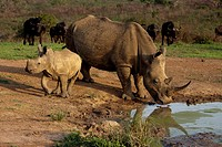 White Rhinoceros calf at waterhole Hluhluwe-Imfolozi Game Reserve, Kwazulu-Natal, South Africa