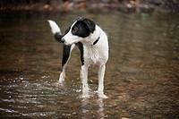 A Border Collie standing in water