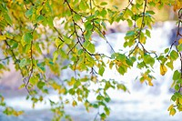 Autumn birch over the water