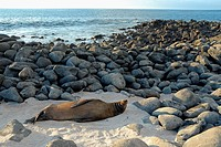 Galapagos Sea lion zalophus californianus wollebaeki sleeping on beach, Lobos Island, Galapagos Islands, Ecuador