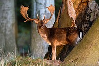 Fallow Deer Dama dama, Buck standing between Trees in Late Evening Light, Royal Deer Park, Klampenborg, Copenhagen, Sjaelland, Denmark