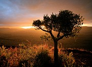 Olive tree and sunset, La Rioja, Spain