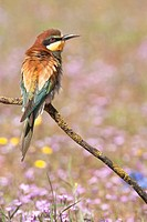 European Bee-eater Merops apiaster perched on branch in open field with flowers  Andalucia, Spain