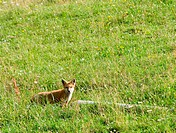 fox in field by log