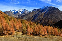 autumn, colors, larch, larches, larch wood, Saas Fee, valley of Saas, sunshine, valley, Valais, Switzerland, Europe, sunny