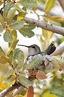 Hummingbird On Its Tiny Nest