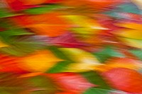 Autumn leaves on ground, close up, blurred. Leaves from Japanese flowering cherry tree Prunus serrulata. Could represent Vitality, Softness, Balance, ...