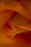 The heart of a delicate orange rose