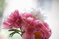 A bouquet of peonies against a window