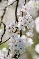 Prunus cerasifera, Cherry blossom flowers in spring